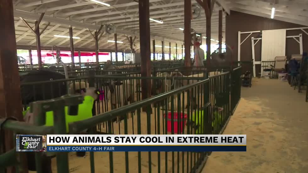 4-H students working hard to keep animals cool