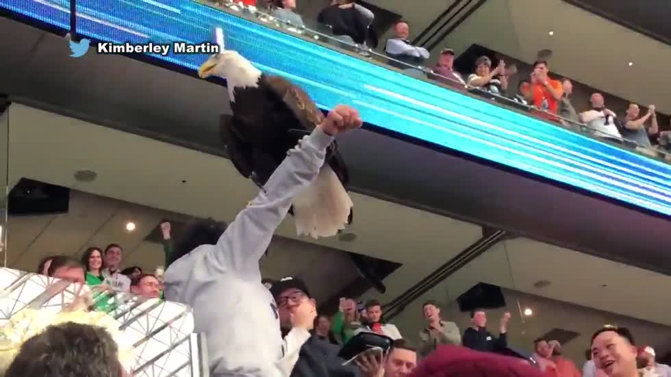 Bald eagle lands on football fans during Cotton Bowl
