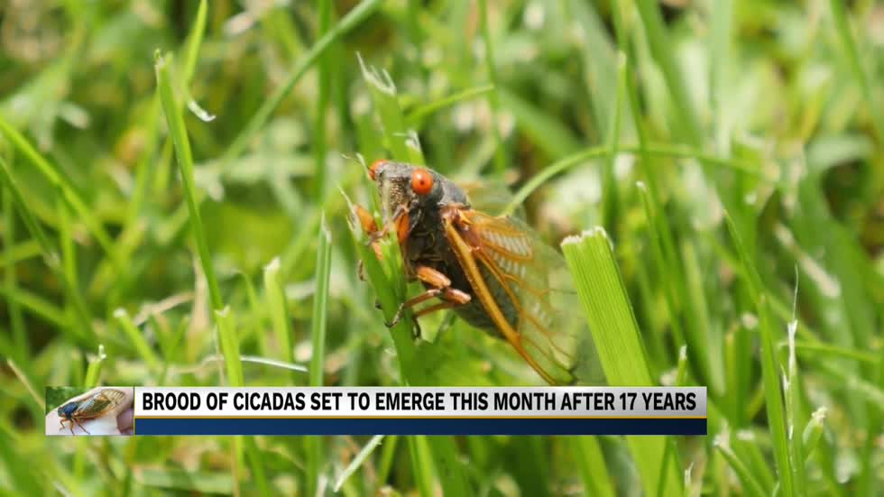 Brood X cicadas to emerge this month after 17 year hiatus