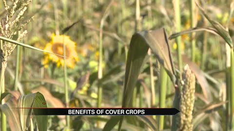 Cover crops taking hold in Elkhart County