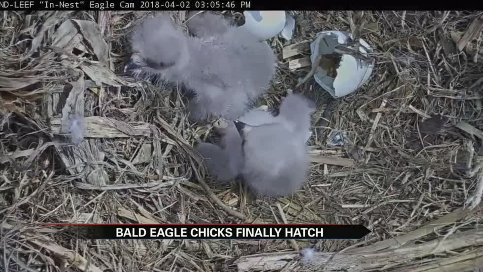 The eaglets have hatched at St. Patrick's County Park