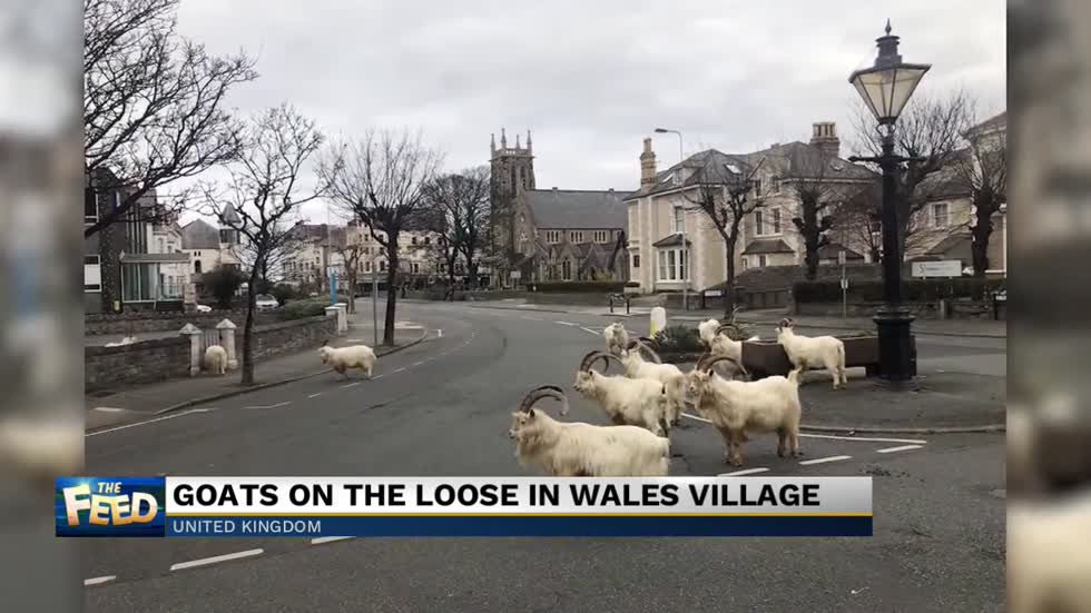 The Feed: Goats on the loose