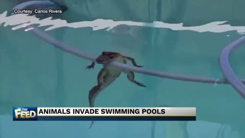 The Feed: Animals invade swimming pools