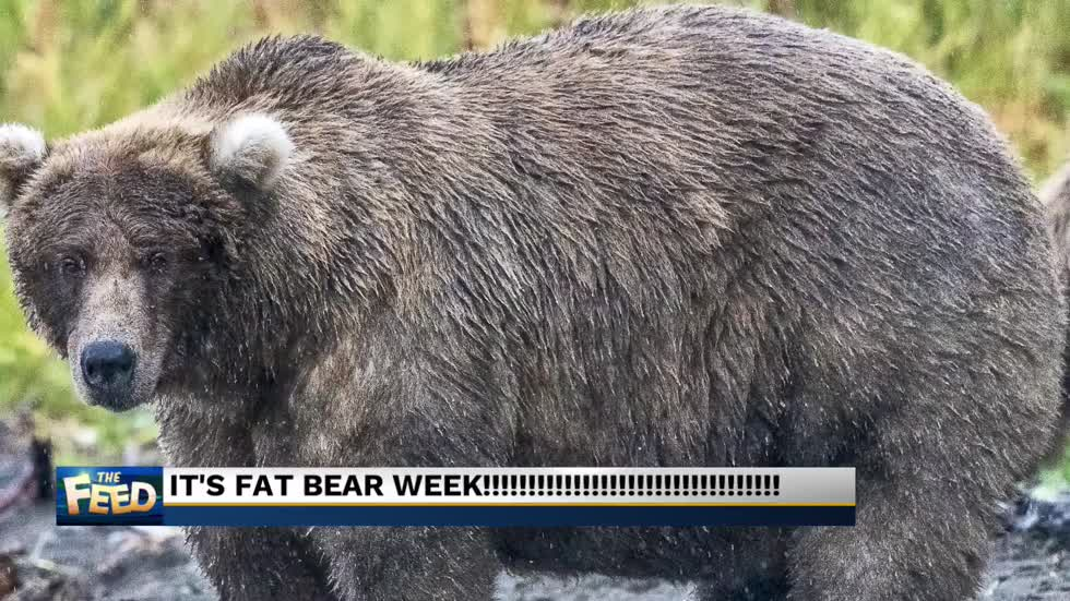 It's Fat Bear Week