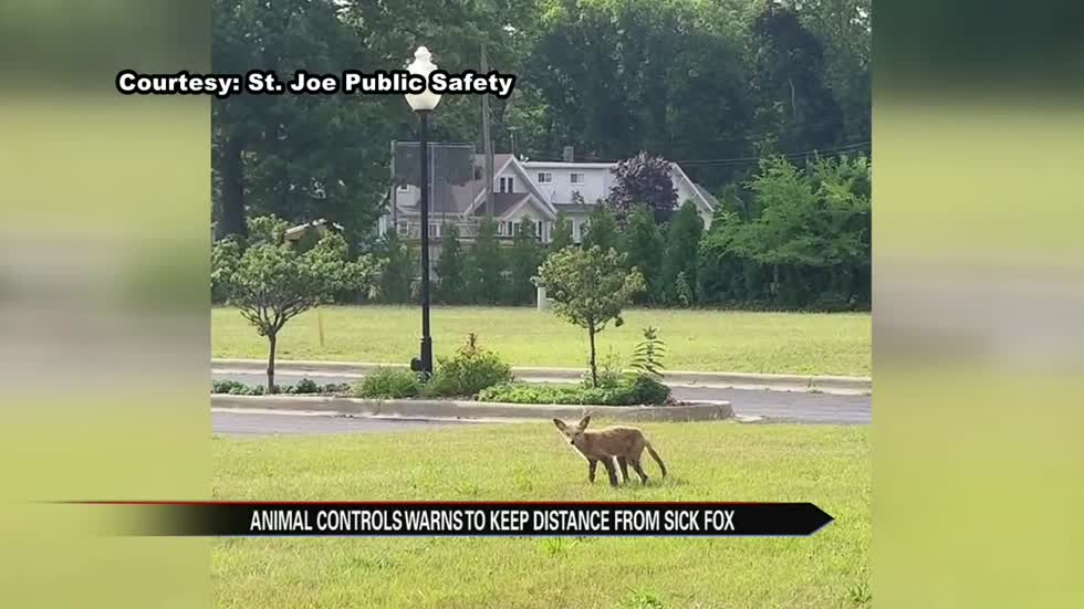 Fox sick with mange mite roaming streets of St. Joe