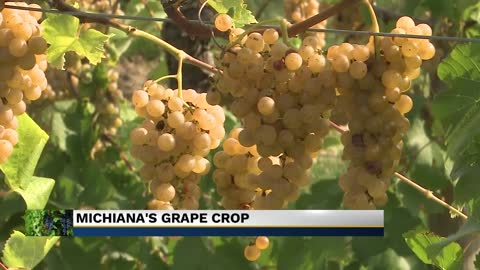 Grape crop and wine turn out this fall