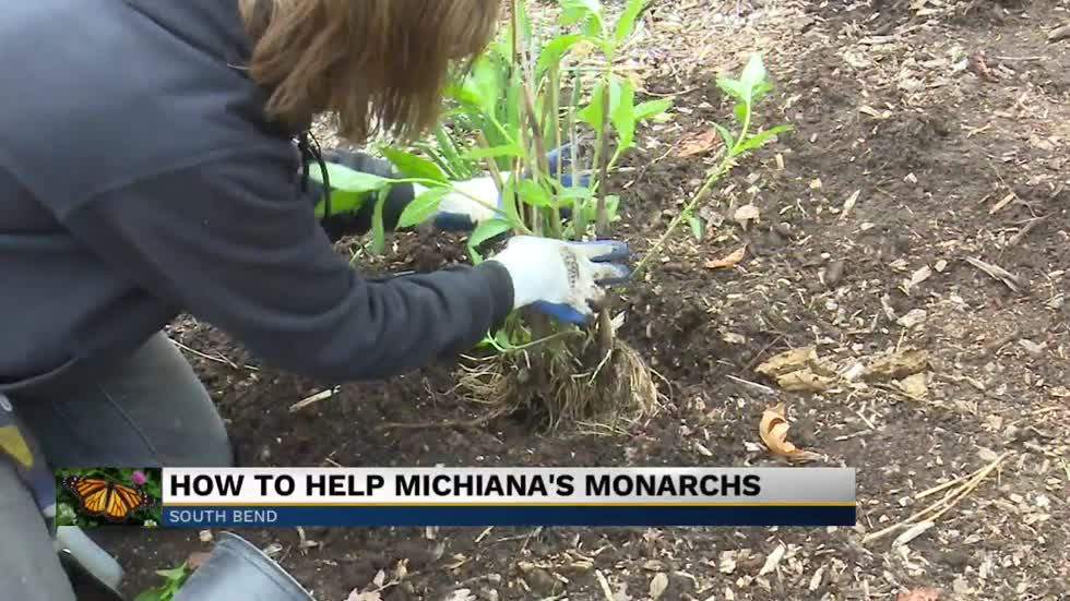 Building a butterfly habitat: How to plant milkweed