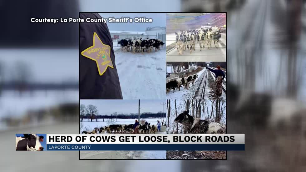 La Porte county cows move onto highway for evening stroll