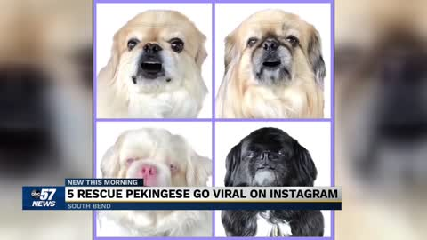 Picture Perfect Pekingese