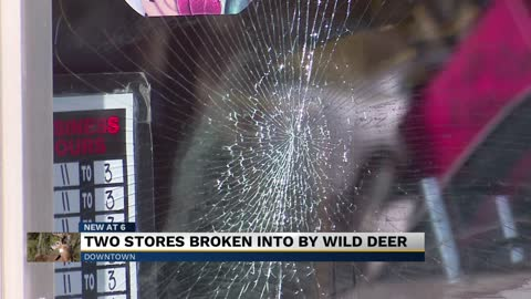Two stores broken into by wild deer