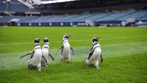 Penguins from Shedd Aquarium visit Soldier Field