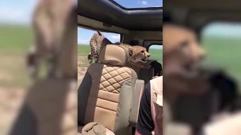 Cheetah catches a ride with safari tour