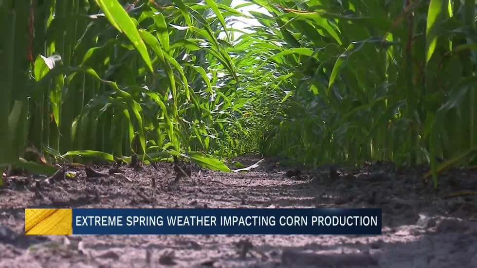 Rainy spring season impacts detasseling for area farmers