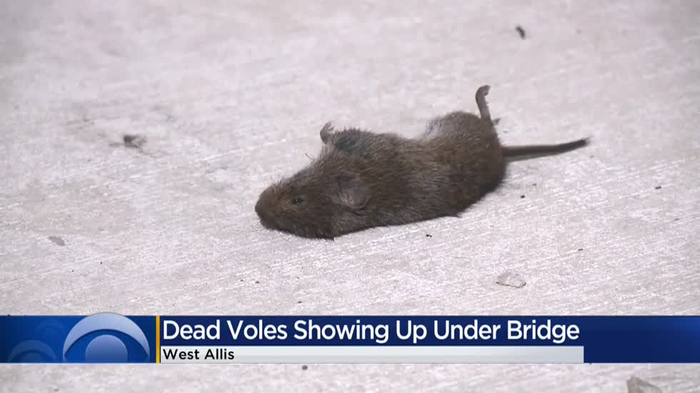 West Allis alderman sets out on 'vole patrol' to clean up dead rodents found underneath the freeway