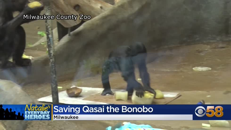 Natalie's Everyday Heroes: Team of specialists saves young bonobo at Milwaukee County Zoo