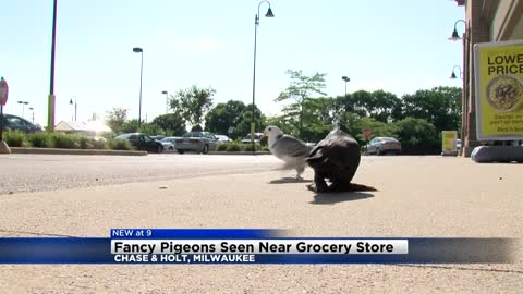 Fancy pigeons spotted at Pick 'n Save near Chase and Holt