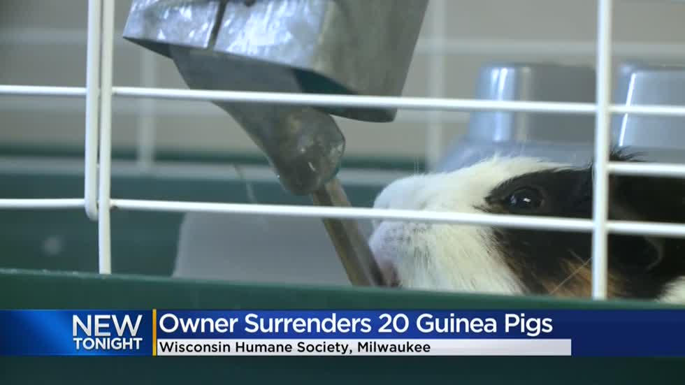 WHS caring for 20 guinea pigs surrendered by overwhelmed owner