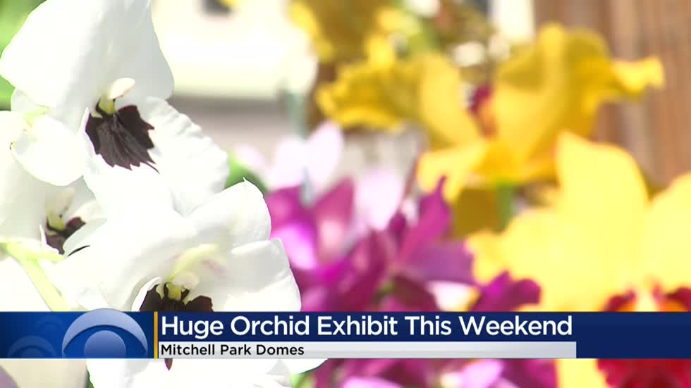 Huge orchid exhibit on display at Mitchell Park Domes this weekend