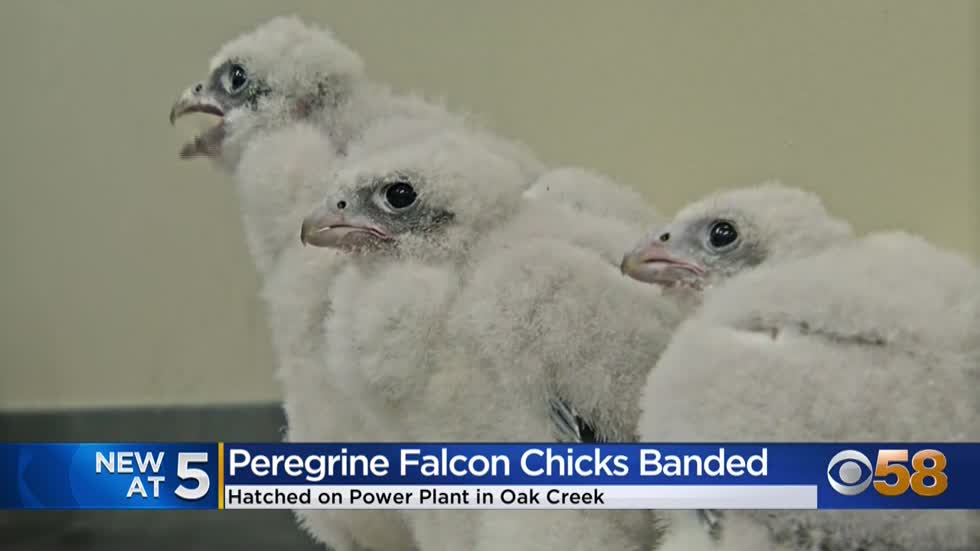 'Fauci,' 'Beaker' and 'Checkers' -- We Energies peregrine...