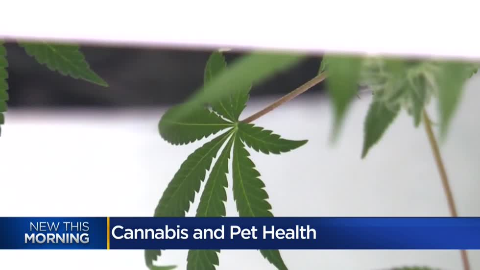 Veterinarian discusses medical cannabis, benefits and dangers for pets