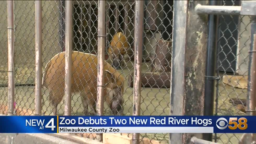 Brothers 'Mort and Dudley' -- red river hogs -- arrive at Milwaukee County Zoo