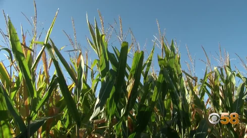 Fall fun in Caledonia: Inside Bear Paw Beach's new corn maze...