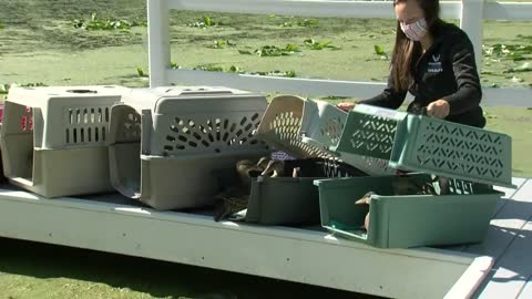 Rehabilitated ducks released into the wild in Franklin