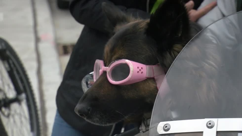 Milwaukee's motocycle riding pooch Molly basks in springtime attention