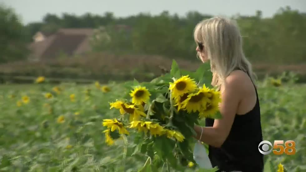 Kenosha County farm plants more than 2 million sunflowers as respite for rough 2020