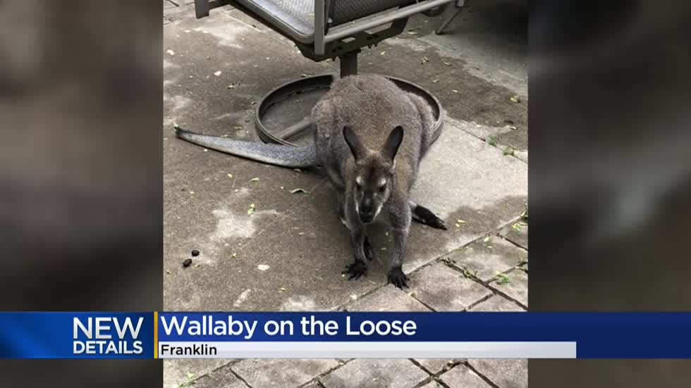 Meet 'Hoppy,' the wallaby that briefly escaped its home in Franklin