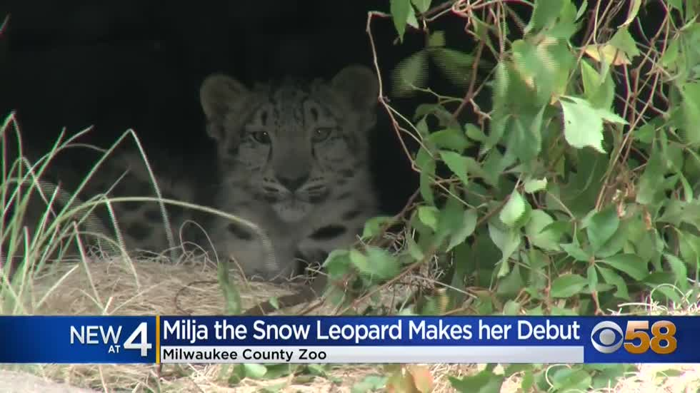 Milwaukee County Zoo's new snow leopard cub 'Milja' makes public debut